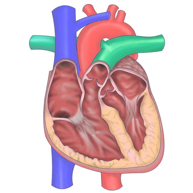 心臓解剖図